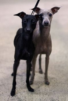 Whippets oh so stylish!