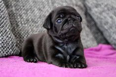 "Explore our internet site for even more details on ""pugs"". It is an outstanding area to get more information. Cute Pugs, Cute Puppies, Dogs And Puppies, Doggies, Teacup Pug, Pug Rescue, Black Pug Puppies, Baby Pugs, Pug Pictures"
