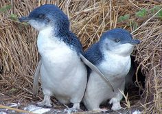 Little blue penguin is the tiniest penguin, standing just 30 centimeters tall. It lives in Australia and New Zealand. (Image: M Kuhn, via Flickr)