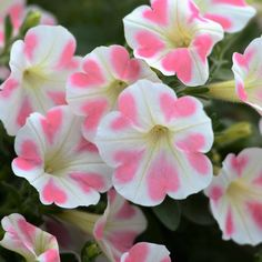 Petunia 'Surfinia Heartbeat' Spring is near, can't wait to plant the beautiful 'Surfinia Heartbeat' petunia in the garden! Exotic Flowers, Amazing Flowers, Pretty Flowers, White Flowers, Petunia Plant, Petunia Flower, Petunia Surfinia, Petunia Tattoo, Flower Beds