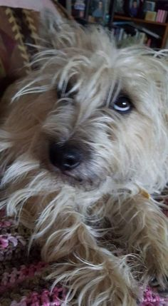 Say what! All Dogs, I Love Dogs, Best Dogs, Cute Dogs, Dogs And Puppies, Fluffy Animals, Animals And Pets, Cute Animals, Cairn Terrier Puppies