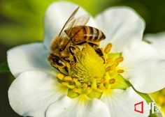 <<봄의 과일 딸기>>  인공적으로 꿀벌에 의해 수정을 시키는 모습. 경남 김해 한림면에서 (뉴스바로 장덕수 기자  2014.2.7)