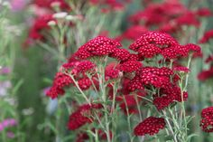 Buy common yarrow Achillea millefolium 'Red Velvet.' Didn't know there were red Achileas. Will have to start a new technicolour border to incorporate this beautiful plant.