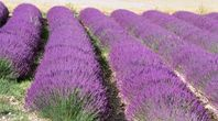 How to Start Lavender From Cuttings | eHow