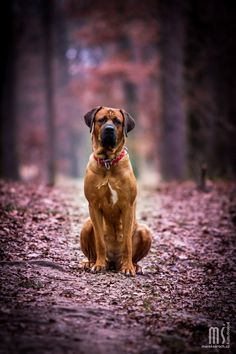 Tosa Inu by Marek Saroch | The Tosa also called the Tosa Inu is a breed of dog of Japanese origin that is considered rare. These Japanese Mastiffs can weight between 100 - 200 lbs.