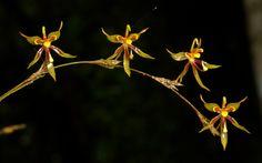 Sigmatostalix brevicornis