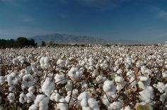 arizona cotton fields