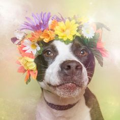 Flower Power: Pit Bulls of the Revolution Photo Series by Sophie Gamand - Dog Milk Pit Bulls, Flower Power, Corona Floral, Dog Milk, Photo Portrait, Portrait Photography, Pit Bull Love, Shelter Dogs, Funny Animals
