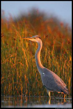 grey heron by Remo Savisaar