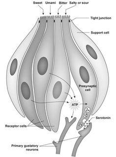 Shark Taste Buds Diagram - Electrical Work Wiring Diagram •