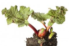 If you've seen a rhubarb plant in someone's garden, then you know the plant can become huge. So what if you love rhubarb and would like to grow it but have limited space? This article will help with growing rhubarb in containers. Organic Gardening, Gardening Tips, Vegetable Gardening, Veggie Gardens, Patio Gardens, Indoor Gardening, Rhubarb Plants, Rhubarb Rhubarb, Rhubarb Syrup