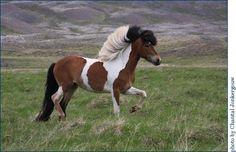 Bay Tobiano Icelandic Horse