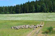 Kyllä lampaille maistuu; tältä peltolohkolta on jo peltosauniot eli saunakukat syöty. Biologista rikkaruohontorjuntaa parhaimmillaan!