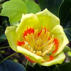 Liriodendron tulipifera, commonly called tulip tree or yellow poplar, is a large, stately, deciduous tree of eastern North America that typically grows (less frequently to tall with a pyramidal to broad conical habit Sunken Garden, Tree Seeds, Deciduous Trees, Gardening, Peeling, Native Plants, Bunt, Tulips, Flora