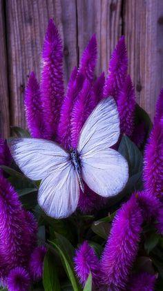 White Butterfly w/ Purple Flowers Art Papillon, Papillon Butterfly, Butterfly On Flower, Butterfly Pictures, Butterfly Kisses, White Butterfly, Butterfly Colors, Purple Love, All Things Purple