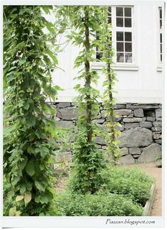 I love these vines and the natural trellis they're on (Piazzan: Humle på störer)