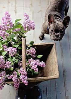 Lilacs, French Bulldogs