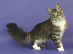 Maine Coon(cat)