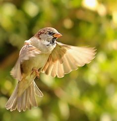Sparrow flying looking for the light - Canon 5D Mark III | Flickr ...