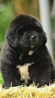 Ridiculously cute Newfie pup