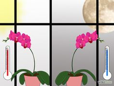 Care for Phalenopsis Orchids (Moth Orchids) Step 5.jpg