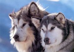 Alaskan Malamute - such beautiful dogs Giant Alaskan Malamute, Alaskan Malamute Puppies, Malamute Husky, Beautiful Dogs, Animals Beautiful, Cute Animals, Pet Dogs, Dogs And Puppies, Dog Cat
