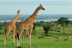 giraffes- Murchison Falls National Park Uganda