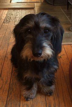 wirehair dachshund