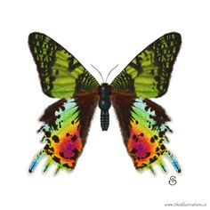 Madagascan Sunset Moth | EDGE of Illustration Moth Drawing, Butterfly Illustration, Back Pieces, Bugs And Insects, Birds Of Prey, Beautiful Butterflies, Madagascar, Africa, Sunset