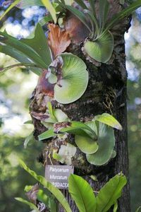 About Staghorn Ferns