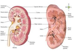 Kidney Anatomy Science Biology, Medical Science, Medical School, Renal Physiology, Anatomy And Physiology, Kidney Anatomy, Physician Assistant School, Nursing Information, Student Info