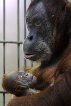 Orangutan Sanctuary, Malaysia Are you my momma? Baby Animals Pictures, Cute Baby Animals, Animals And Pets, Orangutan Sanctuary, Los Primates, Sumatran Orangutan, Monkey See Monkey Do, Mountain Gorilla, Power Animal