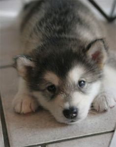White color is common in Alaskan malamute puppies. White with grey, white with black, white with brown and many other variety are include in Alaskan malamute puppies. Husky Malamute, Alaskan Malamute Puppies, Husky Puppy, Alaskan Husky, Puppy Face, Puppy Eyes, Animals And Pets, Baby Animals, Funny Animals