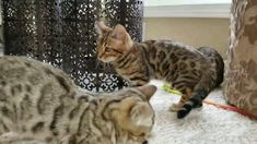 Tigress Boy 1 Bengal Kittens For Sale, Kitten For Sale, Cattery, Cats, Animals, Gatos, Animales, Kitty Cats, Animaux