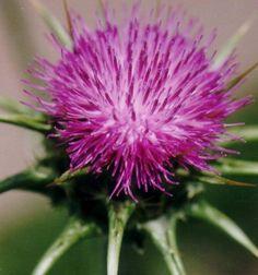 Deve dikeni, Kenker Close Up Photos, Plants, Plant, Planets