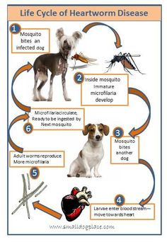 Hadely Here, alert for all those out there in canine land.  Dogs can get heartworms.  Here is a poster showing how heartworm disease progresses.  Learn the facts.  Bark Happy.