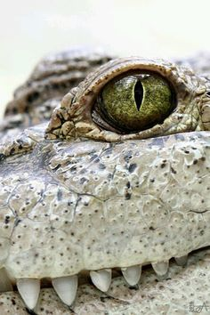 Such a cool photo. I love alligators one of my most favorite creatures Les Reptiles, Reptiles And Amphibians, Mammals, Beautiful Creatures, Animals Beautiful, Cute Animals, Alligators, Regard Animal, Eye Close Up