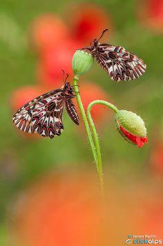 RED PASSION | Zerynthia Polyxena by Jacopo Rigotti on 500px