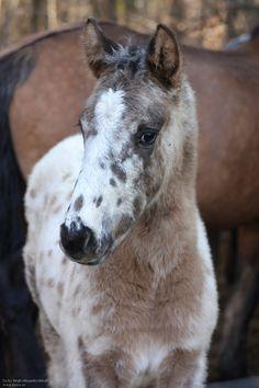Knabstrupper filly 8 weeks old - Birgit M