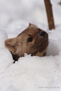 Little critter :P Cute Creatures, Beautiful Creatures, Animals Beautiful, Baby Animals, Cute Animals, Photo Animaliere, Carnivore, Little Critter, Tier Fotos