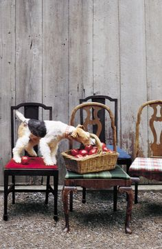 the curious bumblebee — ralphlauren: Picking apples with a Wire Fox Terrier friend. Fox Terriers, Chien Fox Terrier, Wirehaired Fox Terrier, Welsh Terrier, Terrier Breeds, Wire Fox Terrier, Terrier Dogs, Pitbull Terrier, Dog Breeds