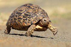 18 de las más raras y maravillosas especies de tortugas