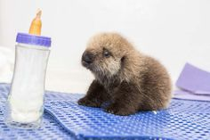 This little rescued sea otter pup is the cutest thing ever