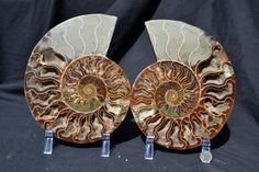 FREE USA Shipping Fossil Pair Ammonite Great by Paulstaberminerals, $269.99