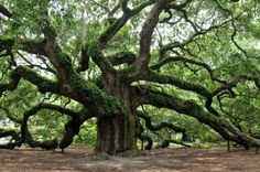 http://may3377.blogspot.com - Magnificent Live Oak