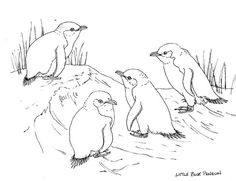 The West Coast Penguin Trust, New Zealand » Blog Archive » Janet Marshall blue penguin pic for colouring
