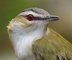 Red-eyed Vireo holds the record of singing most songs at 22,197 songs in a 10-hour period (Lawrence, L. de K.)
