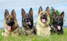 Loyal German Shepherd