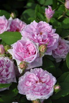 Old Rose「Comte de Chambord 」(1858)Robert & Moreau.,France