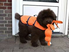 Ready to go for a swim!! Adorable, isn't he!! #NewfoundlandDog